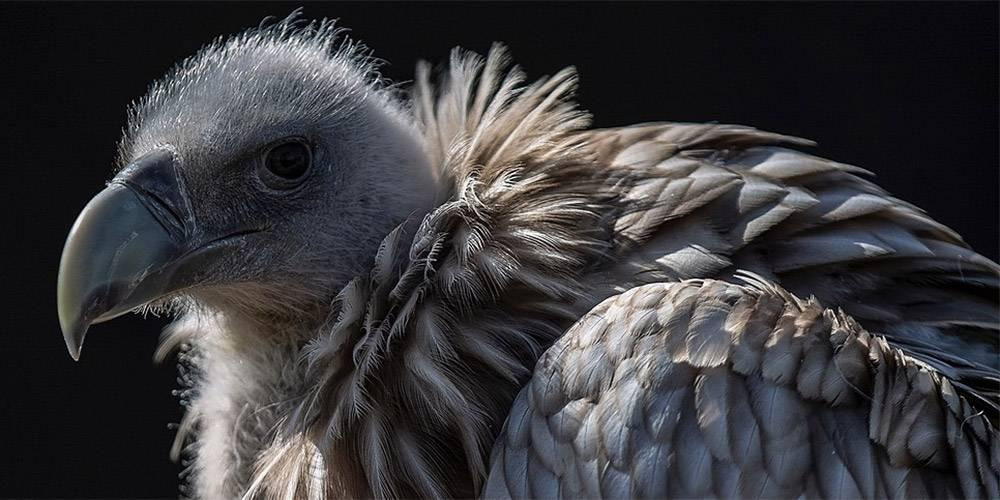 De Hoop Vultures